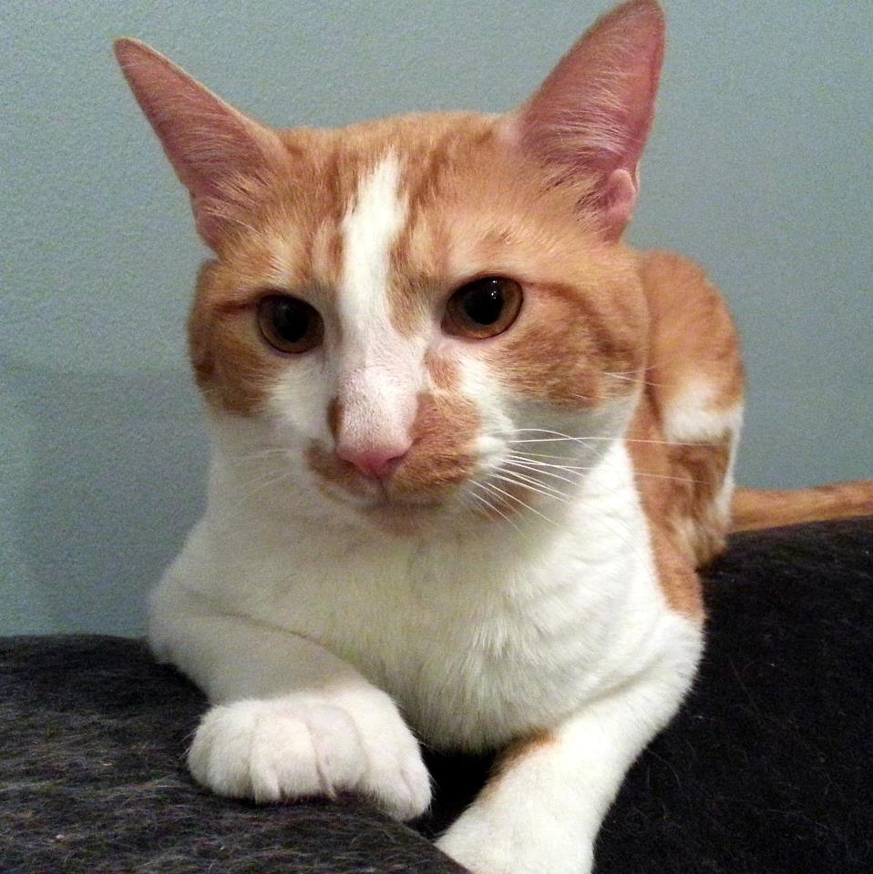 Jake the polydactyl cat