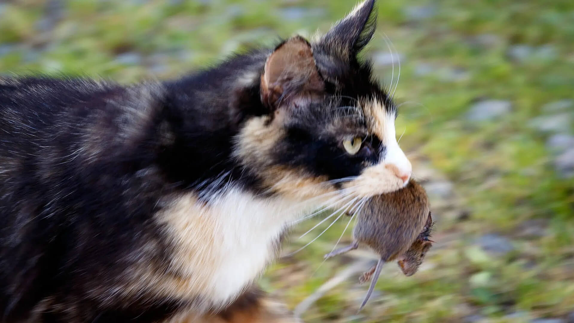 Cat carrying mouse
