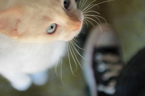cat whisker length