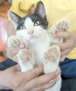 Polydactyl cats were believed to be better mouse hunters