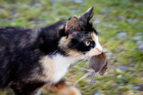 Cat carrying dead mouse
