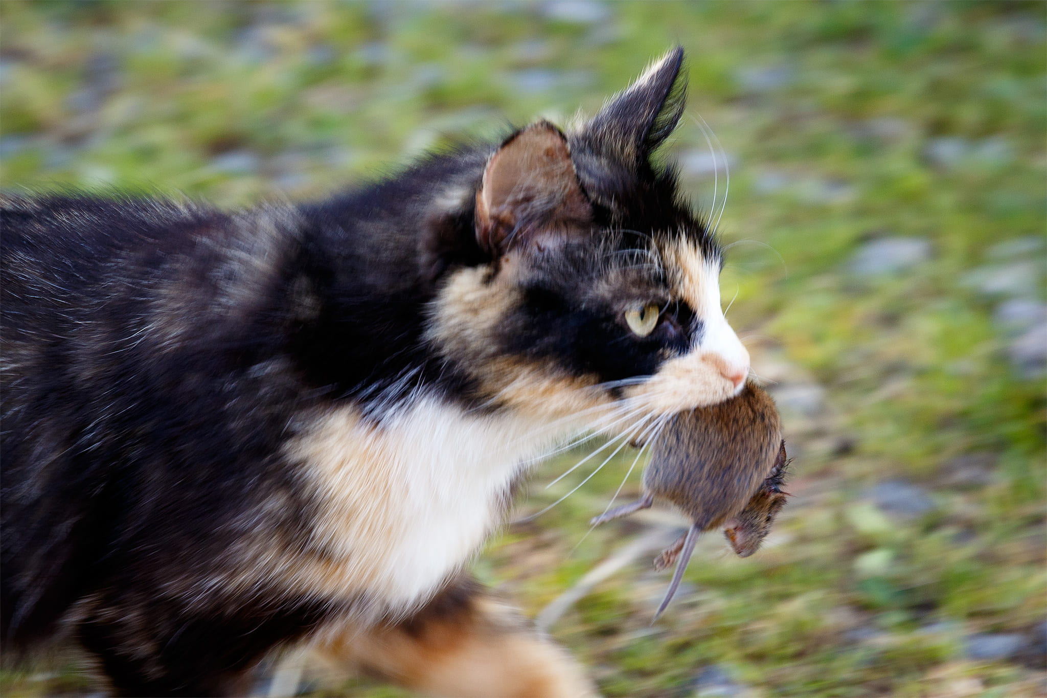Why do cats carry dead animals home