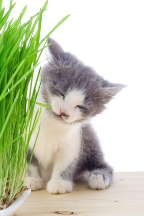 kitten with grass