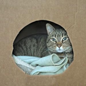 pregnant cat nesting