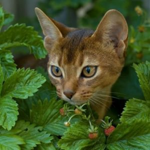 Abyssinian​ cat