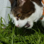 Joey eating grass