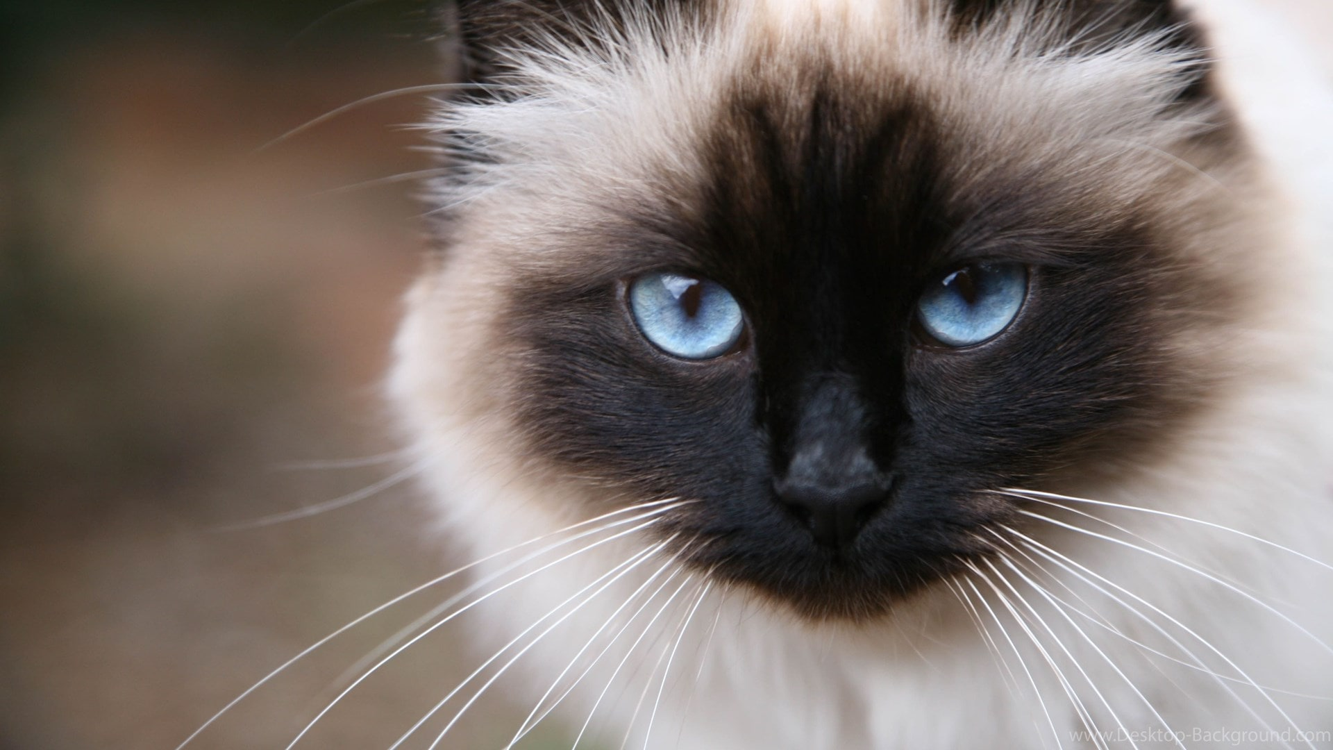 Most Friendly Cat Breeds - Purrfect Love