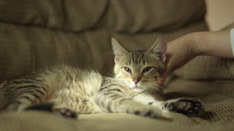 Toxoplasmosis: What All Cat Owners Should Know