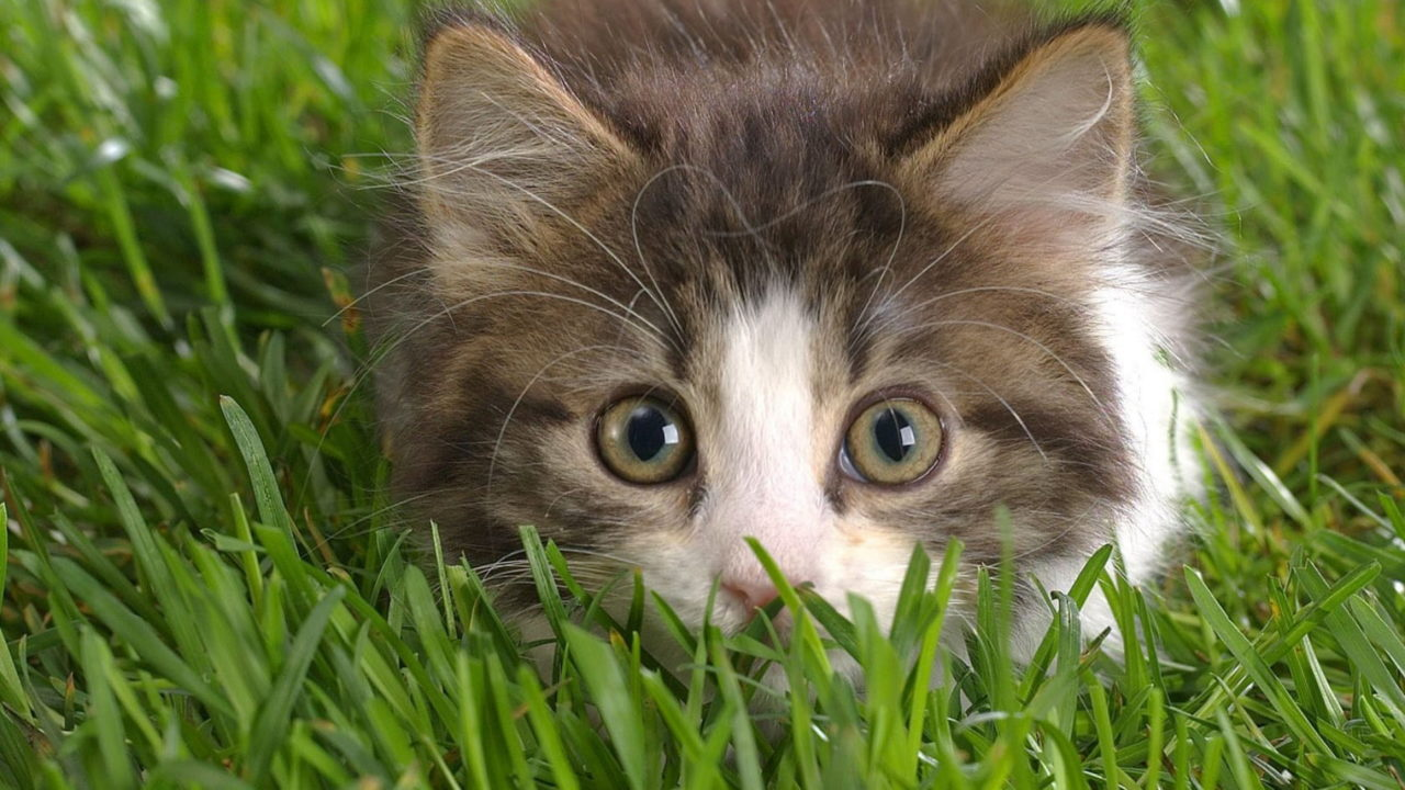 14 Home Remedies For Cats Purrfect Love