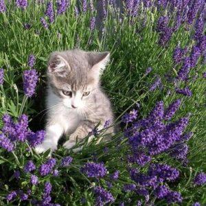 Cat lavender