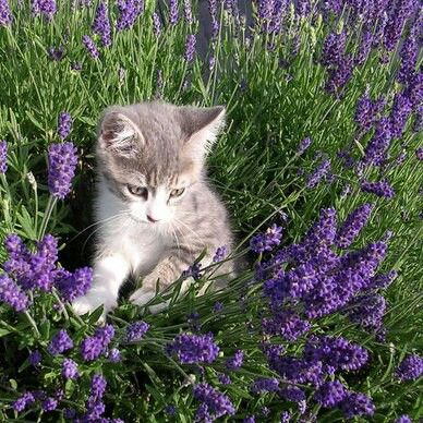 Cat with lavender