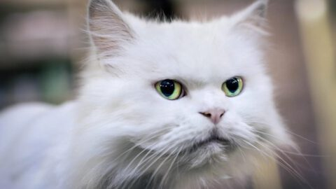 10 Signs You Have a Bipolar Cat
