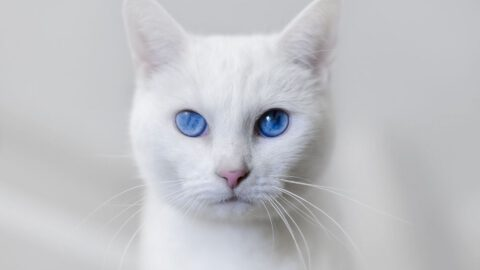 Caring for a Deaf Cat