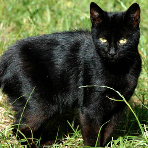 Miniature Panther
