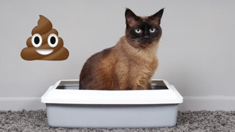 Diarrhea: What to Do About Your Cat's Poo