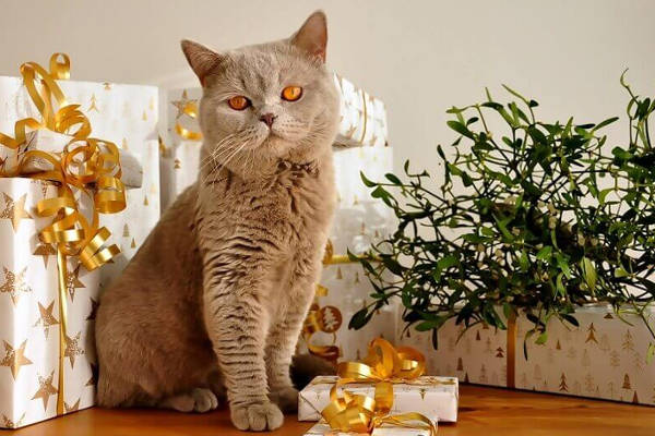 Cat by gifts