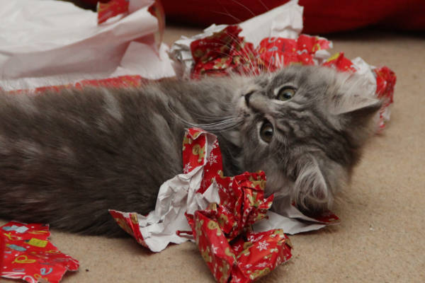 Kitten playing in wrapping paper