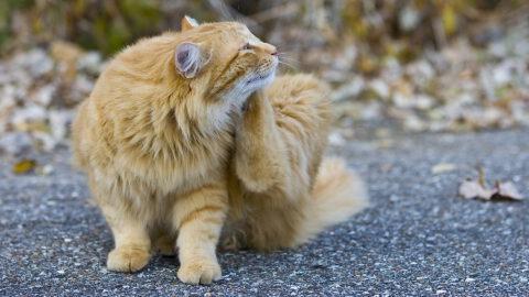 Natural Flea Treatment for Cats