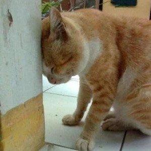 Cat head pressing on wall