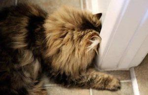 head pressing cat