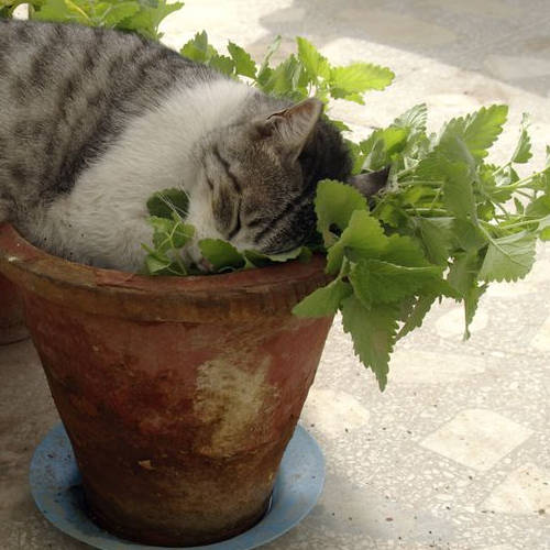 Nepeta Cat Plant