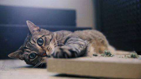 Catnip Types & Options for Your Cat