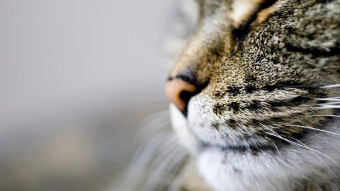 Do Cat Whiskers Grow Back?