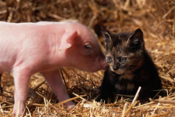 Kitten and pig