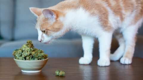 Can a Cat Get High?