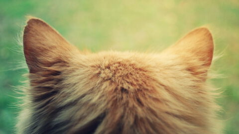 Inner Ear Infection in Cats