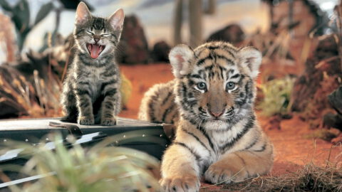 Tigers & House Cats Share 95.6% DNA