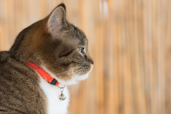Cat Orange Collar
