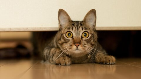 Stress Seizures in Cats