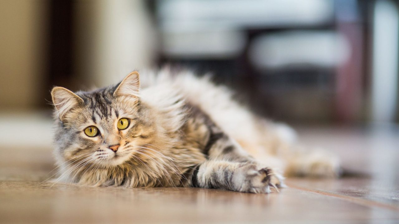 Declawed cat