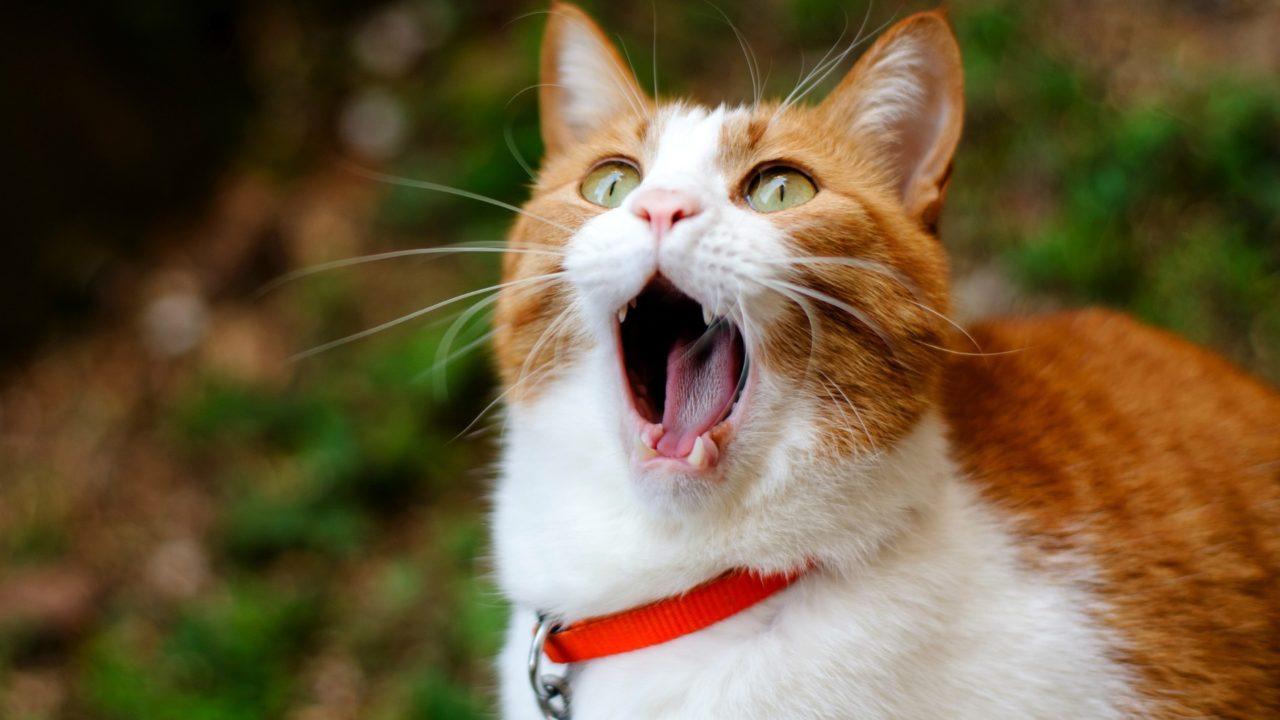 Cat burp