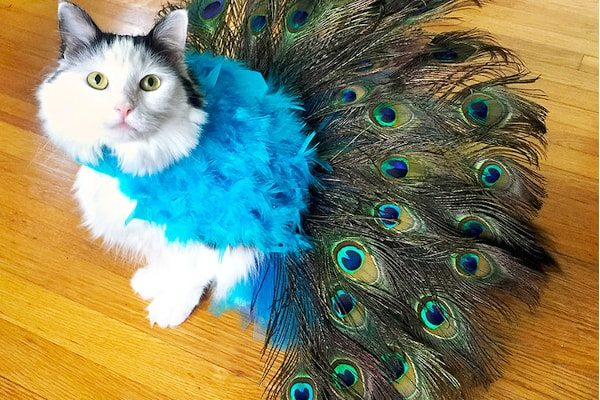 Peacock Cat