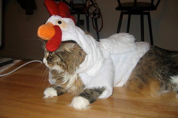 Hen Cat