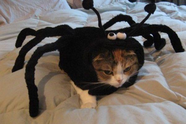 Spider Cat