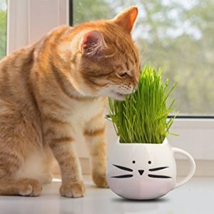 cat eating wheatgrass