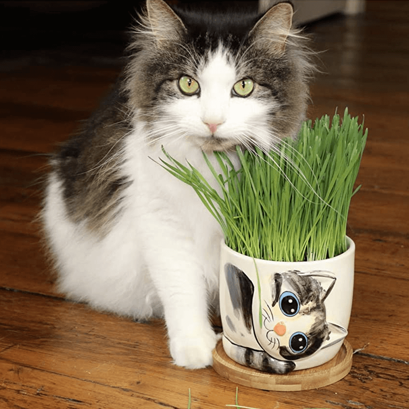 wheat grass for cats