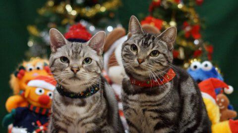 Catsmas vs Catmas