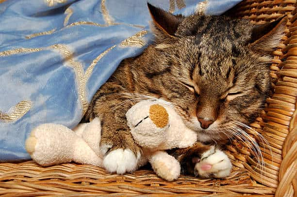 senior cat sleeping