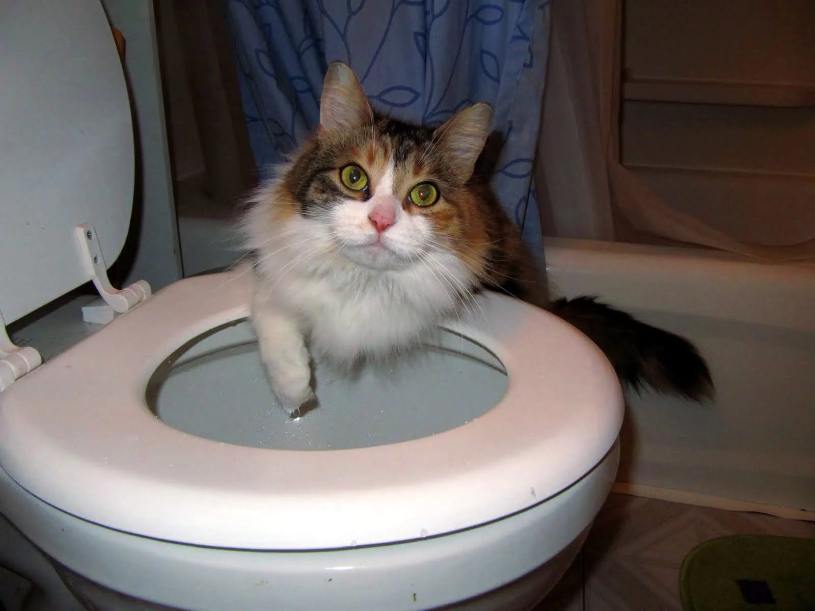 Cat in toilet