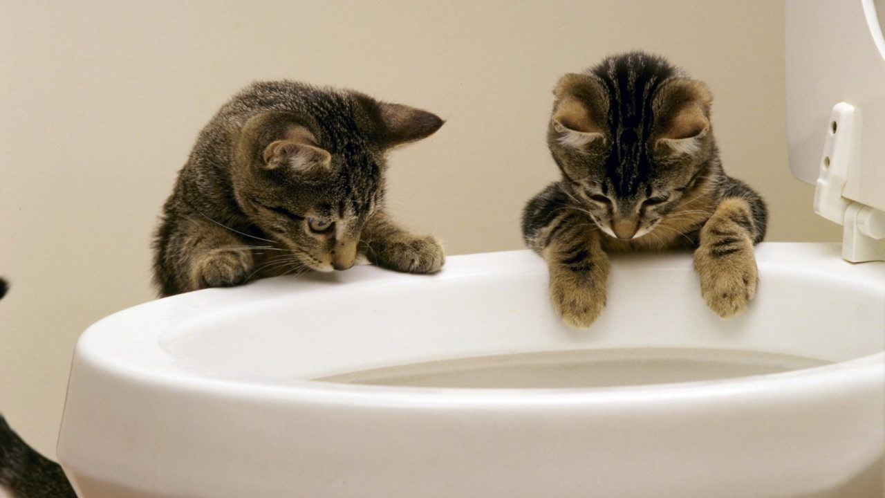 Cats in toilet