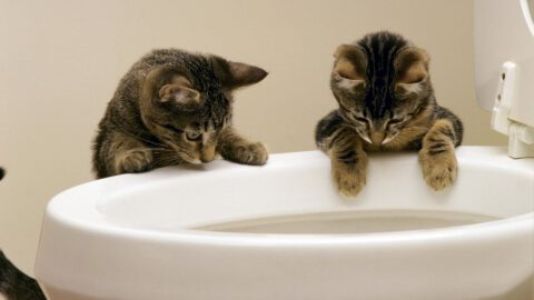 Why Does My Cat Drink from the Toilet?