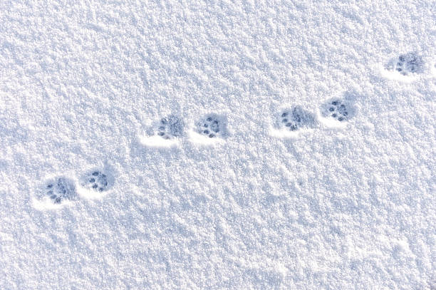 Cat Pawprint in Snow