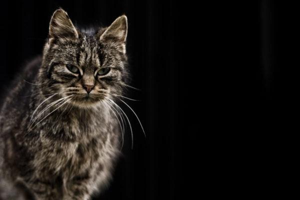 Cat Dementia: Causes & Signs