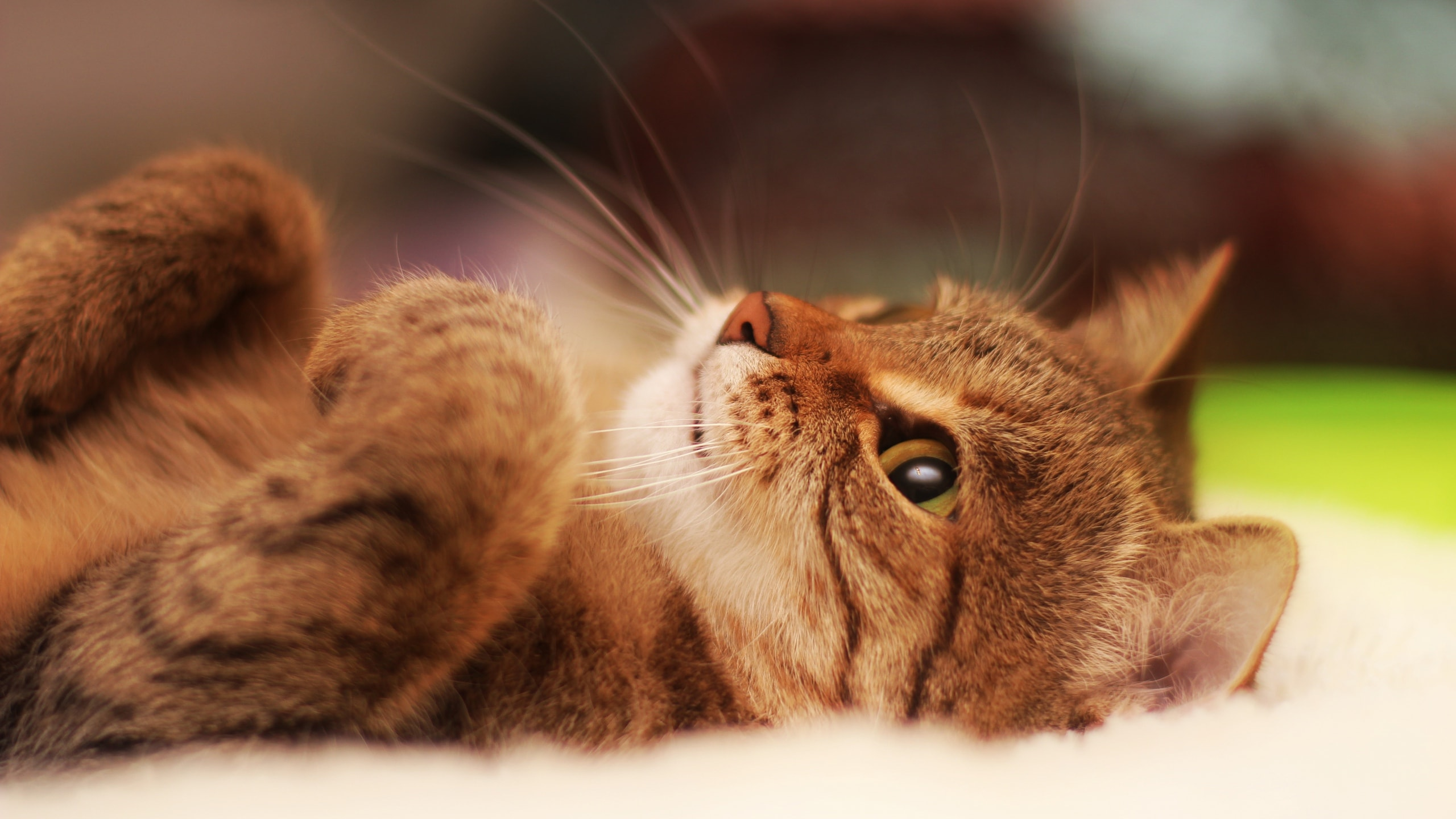 Laying Cat Wallpaper
