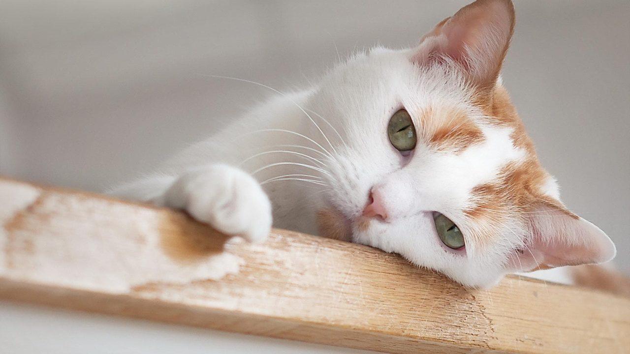Cat UTI