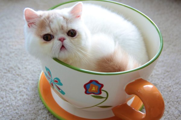 Cat green tea